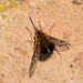 Bombylius discolor [Dotted Bee-fly]. by od0man