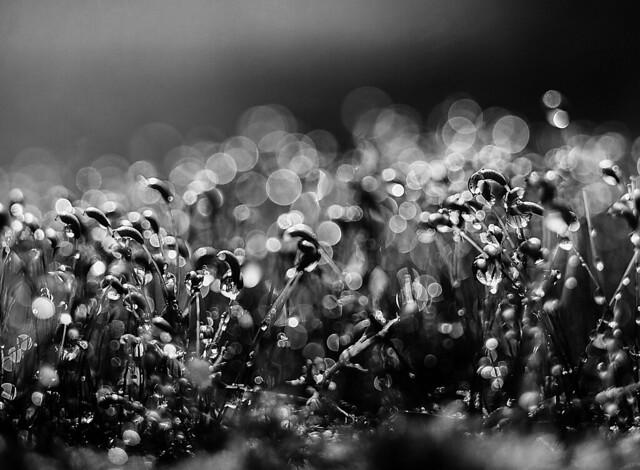 Moss Spore Capsules