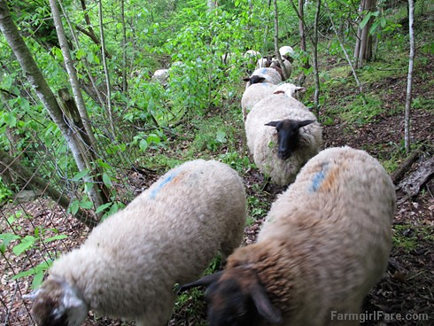 (27-11) Baaaad wayward woodland sheep heading through the gate back onto the property - FarmgirlFare.com