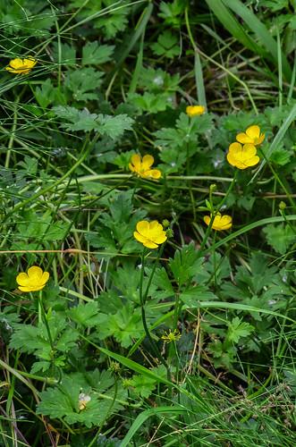 <p><i>Ranunculus repens</i>, Ranunculaceae<br /> Colony Farm Regional Park, Coquitlam, British Columbia, Canada<br /> Nikon D5100, 70-300 mm f/4.5-5.6<br /> June 22, 2013</p>