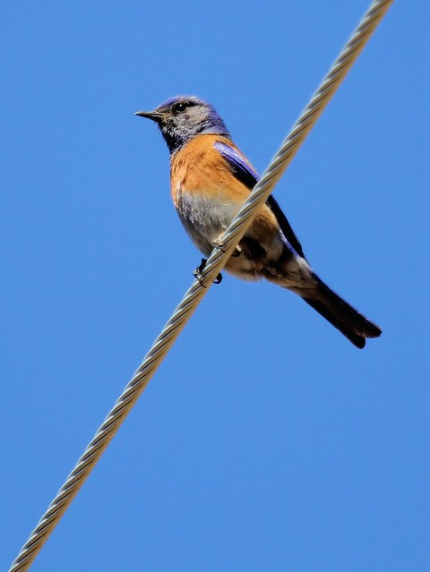 Western Bluebird 20130617