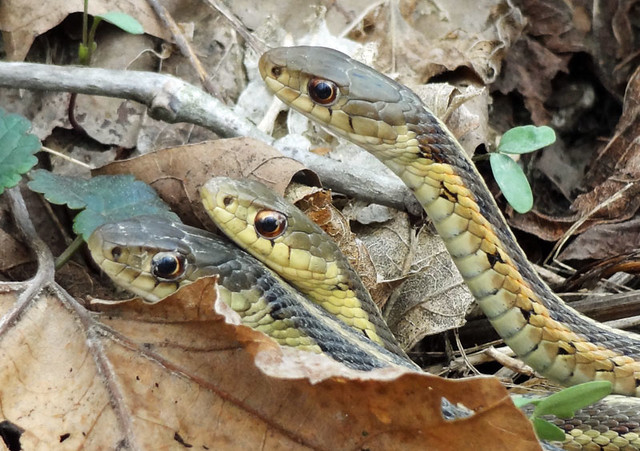 snakes cuyahoga valley national park wildlife