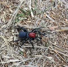 Red headed Mouse Spider  (missulena occatoria)