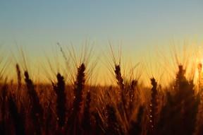 field sunrise wheat dayshoot30