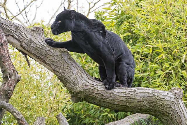 Pele climbing up the tree