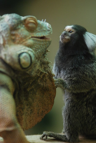 Green iguana & marmoset by floridapfe