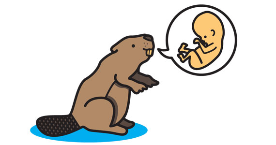 A cute beaver with a speech bubble that has a fetus in it.
