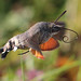 hummingbird hawkmoth in flight taken in the uk by andy_porter69