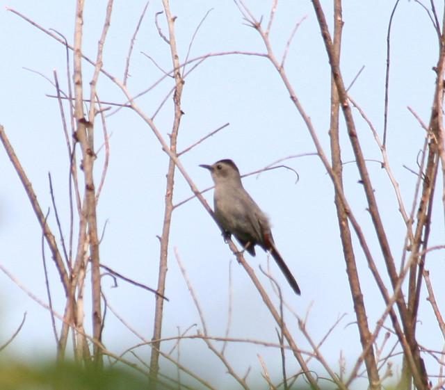 gray catbird 02