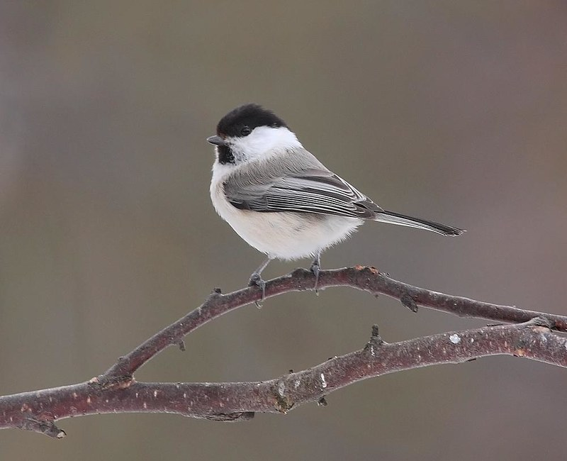Willow Tit (Northern race)