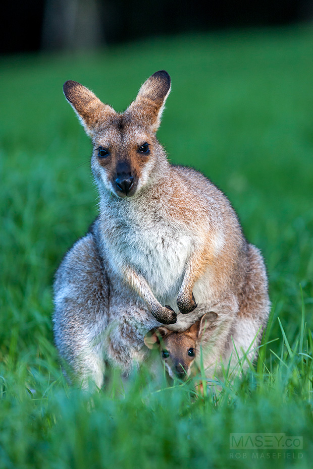 A mother and joey red-necked wallabies.