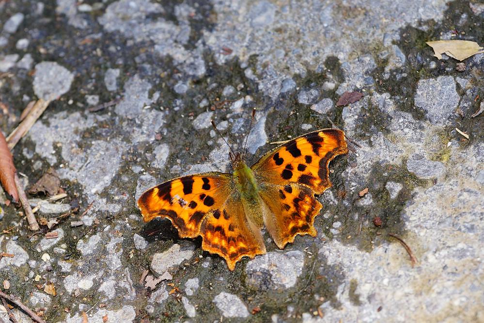 鉤蛺蝶屬突尾鉤蛺蝶-1