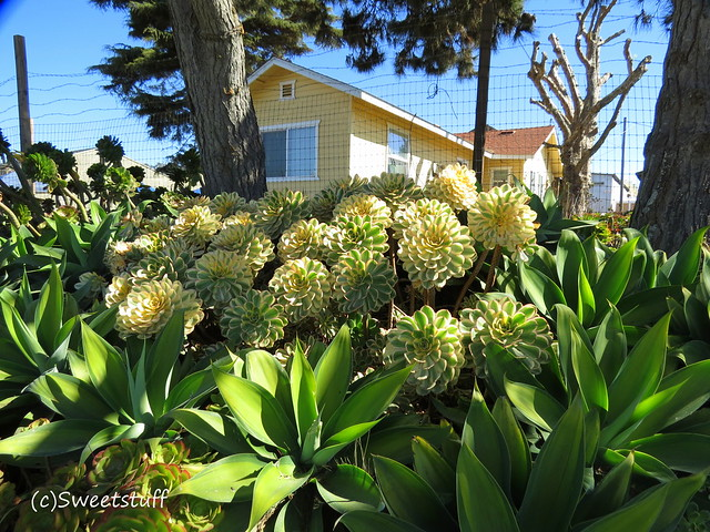 The yellow house with Aeonium sunburst and agave attenuatta 'Kara's stripe'
