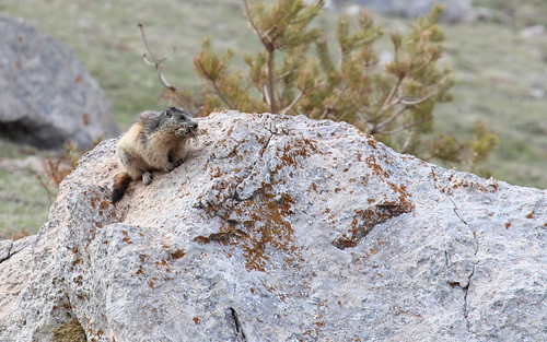 Marmot by ricmcarthur