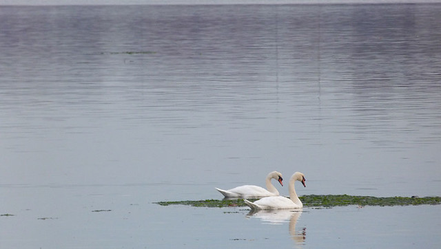 swans_nov2013