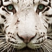 Tigre blanc royal (White Tiger) by _ alt3 _