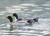 2013-12-11, Kastle Ducks-6 by falon_167