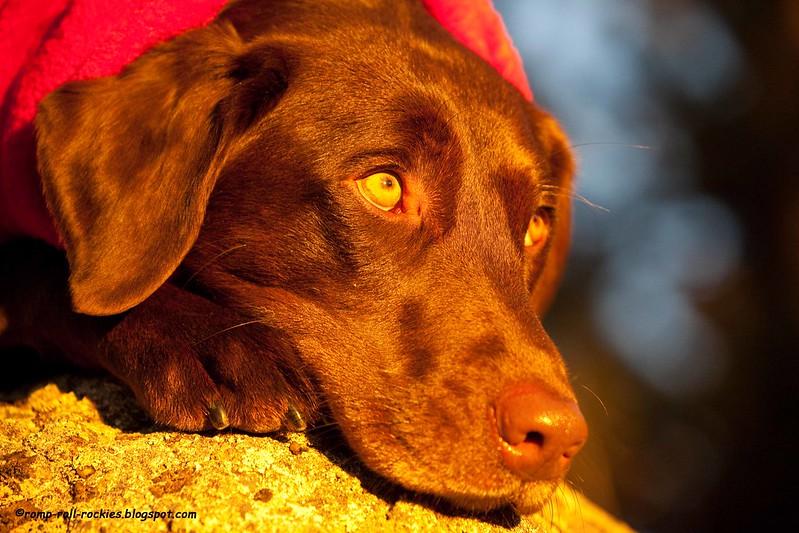 Cozy Labrador