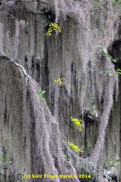 Coppensia bifolia e Tillandsia usneoides