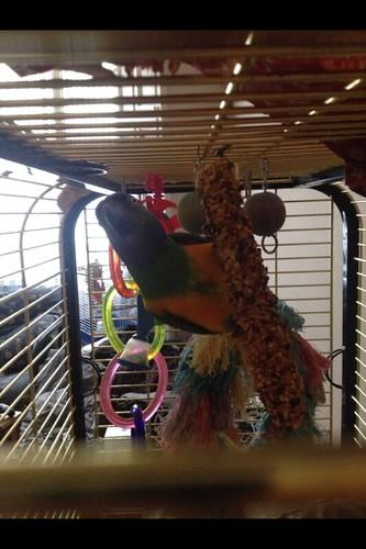 Senegal parrot playing.