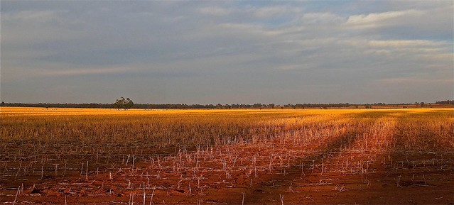 Wheat stubble. Barradine, NSW.