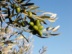 blossom(0.0), shrub(0.0), flower(0.0), plant(0.0), produce(0.0), food(0.0), evergreen(1.0), branch(1.0), leaf(1.0), tree(1.0), olive(1.0), flora(1.0), fruit(1.0),
