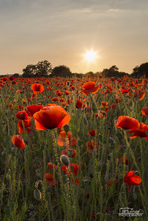Poppy Field Sunset