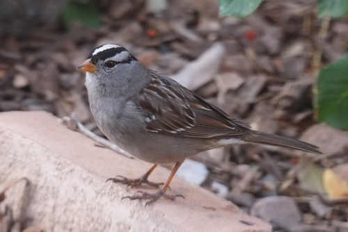 The Daily Bucket: White-crowned Sparrows Subspecies