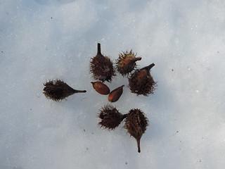 Faines et graines du hêtre