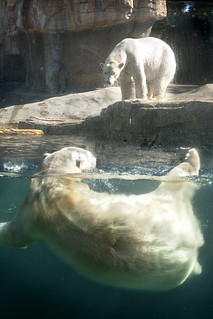 Wet and Dry Polar Bears at the San Diego Zoo 03-08-14
