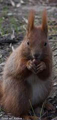 animal, squirrel, rodent, fauna, whiskers, wildlife,