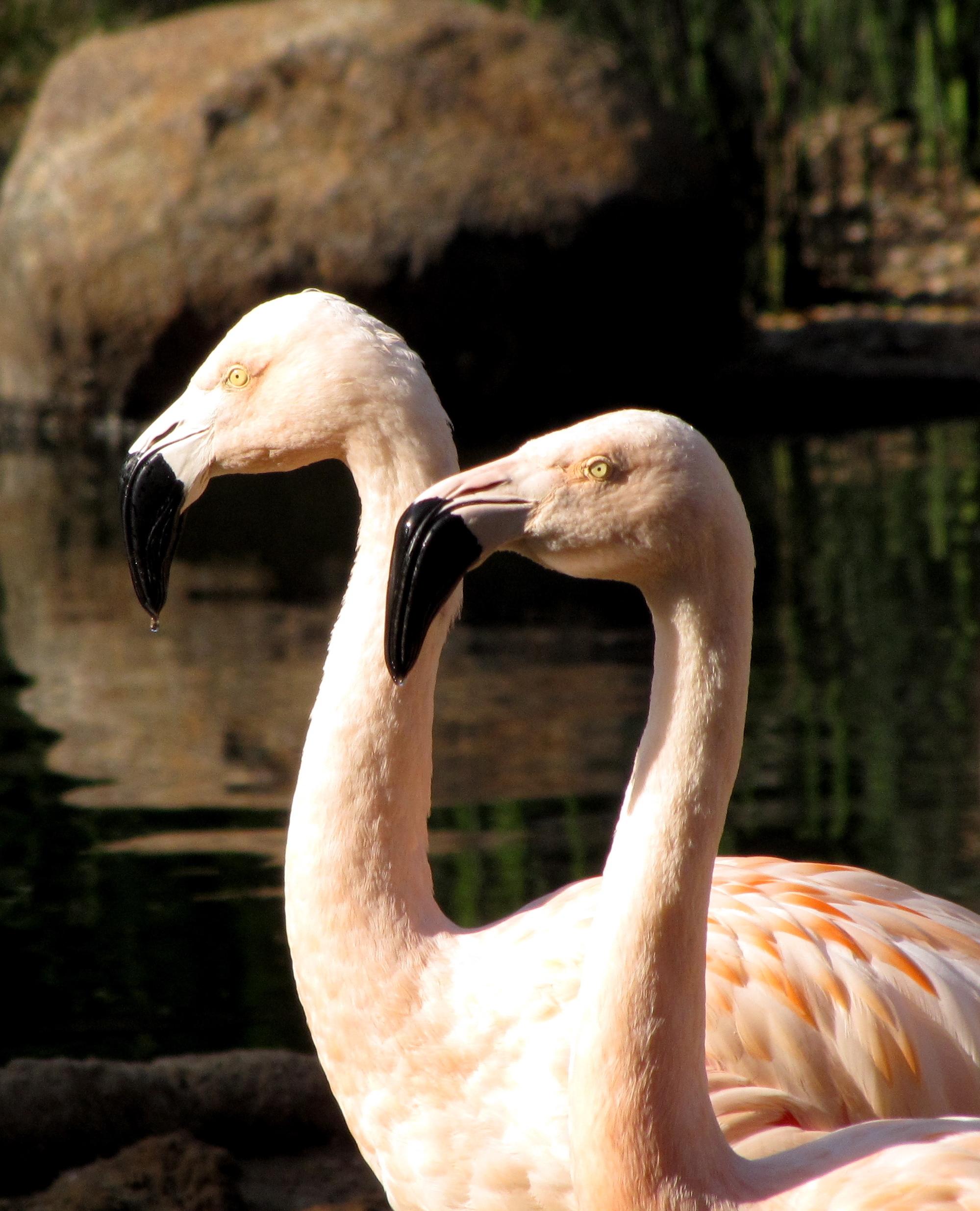 Chliean Flamingo