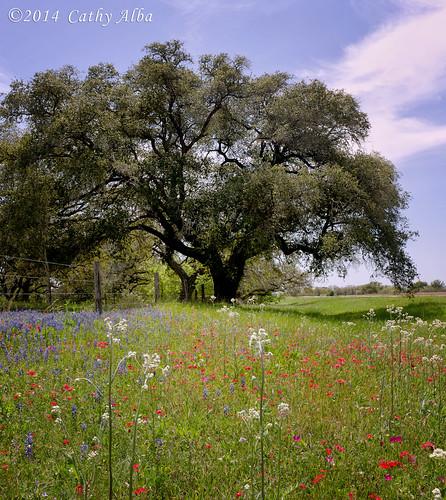 nature landscape nikon bluebonnets texaswildflowers wildfowers texaslandscape drummondphlox nikon2470mmf28g nikond7000 bluebonnets2014