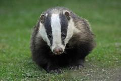virginia opossum(0.0), weasel(0.0), polecat(0.0), mink(0.0), ferret(0.0), animal(1.0), mustelinae(1.0), mammal(1.0), fauna(1.0), badger(1.0), whiskers(1.0),
