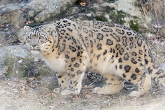 Snow Leopard Crouched