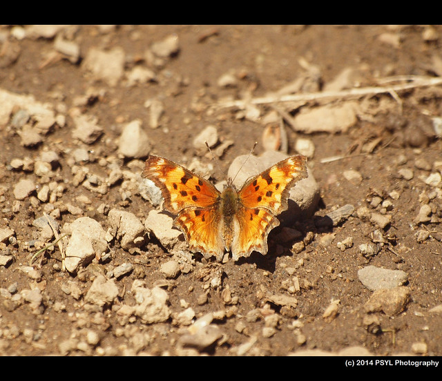 Green Comma (Polygonia faunus)