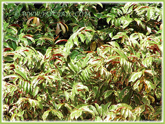 Excoecaria cochinchinensis cv. Firestorm (Chinese Croton Firestorm, Variegated Blindness Tree) in our vicinity