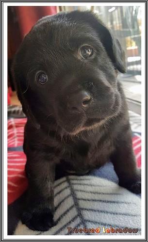 black-labrador-retriever-puppy