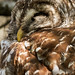 Barred owl #1 by billd_48