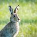 Irish Mountain Hare Portrait by bob golden