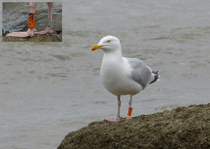 Herring Gull, Blue BBX
