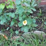 First Nasturtium Flower 4 June 2013