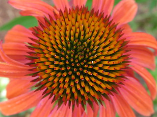 Echinacea (close)