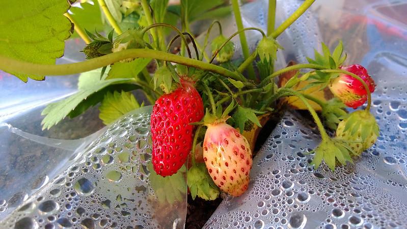 Strawberry Picking WP_20130529_017