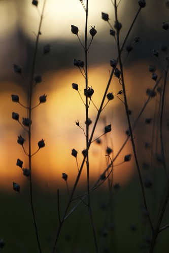 sunset plant nature silhouette canon weed florida bokeh seed seedhead northwestflorida bino99