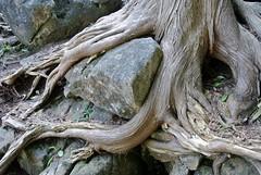 Cedar roots hug a stone