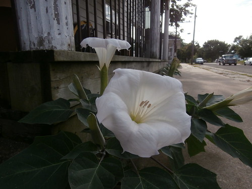 Moonflower...