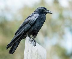 blackbird(0.0), rook(0.0), animal(1.0), wing(1.0), raven(1.0), crow(1.0), fauna(1.0), american crow(1.0), beak(1.0), bird(1.0), wildlife(1.0),