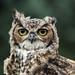 owly the owl by Iain Lawrie