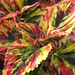 Small photo of Coleus Tricolor